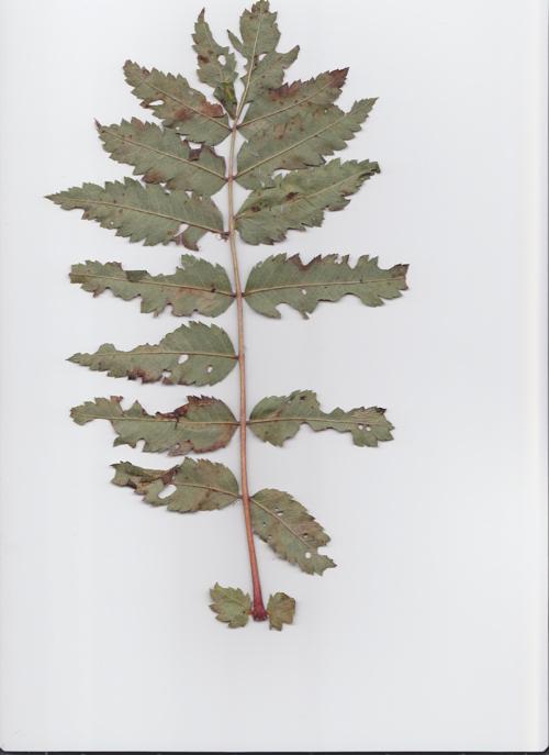 Was Ist Das Für Ein Baum was ist das für ein baum strauch sorbus aucuparia