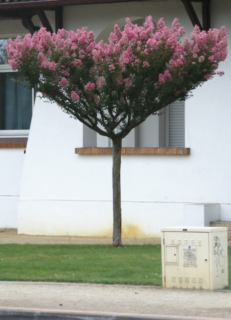 baum aus s dfrankreich lagerstroemia indica. Black Bedroom Furniture Sets. Home Design Ideas