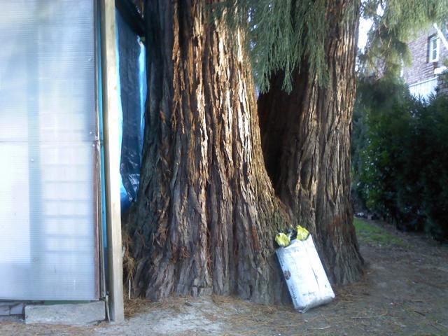 Kletterausrüstung Baum Fällen : Was ist das für ein mega baum mitten in krefeld? u003e sequoiadendron