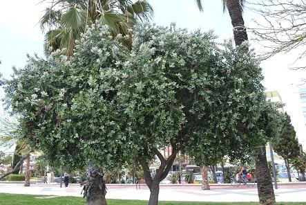 Baum aus andalusien metrosideros excelsa baumkunde - Baum auf spanisch ...