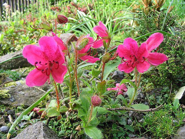 wildarten bei rhododendren rhododendron spp seite. Black Bedroom Furniture Sets. Home Design Ideas