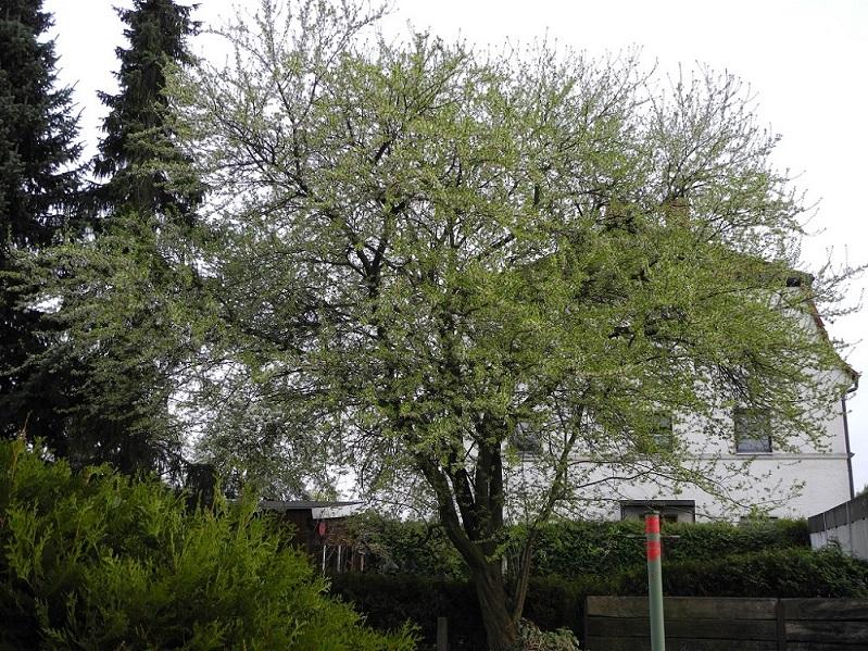 Frage zu meinem garten welcher baum ist das prunus cerasifera baumkunde forum - Garten baum fallen ...