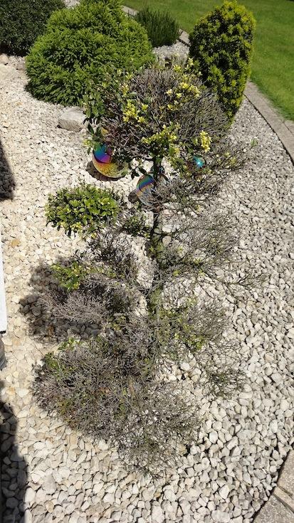 was ist das f r ein garten bonsai und was fehlt diesem. Black Bedroom Furniture Sets. Home Design Ideas