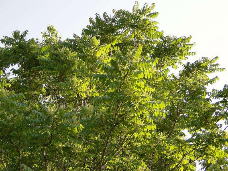 welcher baum ist das ailanthus altissima baumkunde forum. Black Bedroom Furniture Sets. Home Design Ideas