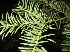 Was Ist Das Für Ein Baum was ist das für ein baum taxus baccata baumkunde forum