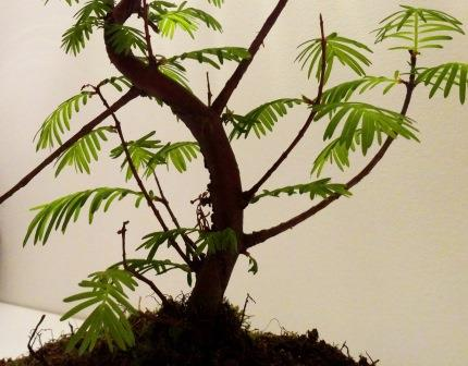 bonsai aber was f r ein baum metasequoia glyptostroboides baumkunde forum. Black Bedroom Furniture Sets. Home Design Ideas