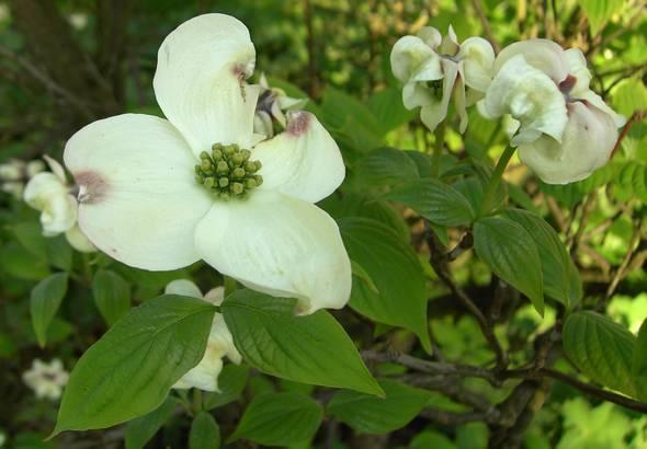 Nett Welche Art Von Baum Hat Weiße Blüten Bilder - Kleider und ...