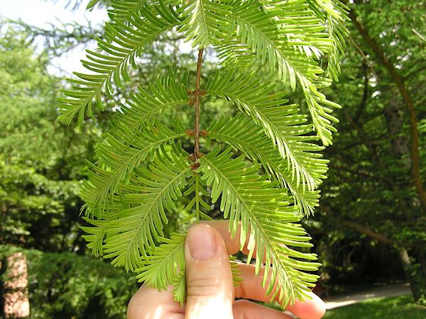 Was Ist Das Für Ein Baum was ist das für ein baum metasequoia glyptostroboides