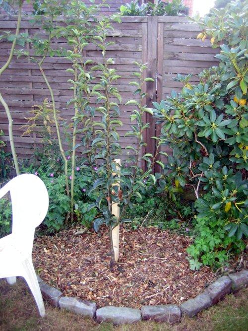 birnbaum pflanzen beschneiden und formen was muss ich. Black Bedroom Furniture Sets. Home Design Ideas