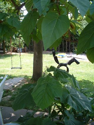 ableger blauglockenbaum mit 40cm gro en bl ttern paulownia tomentosa gledi baumkunde forum. Black Bedroom Furniture Sets. Home Design Ideas