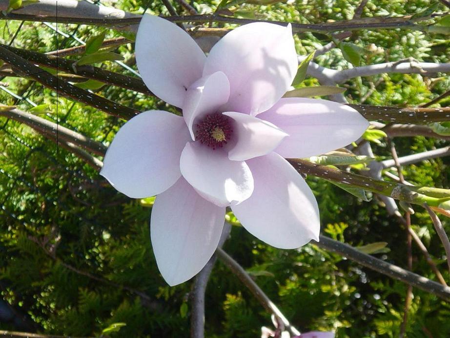 tulpen magnolien strauch baumkunde forum. Black Bedroom Furniture Sets. Home Design Ideas