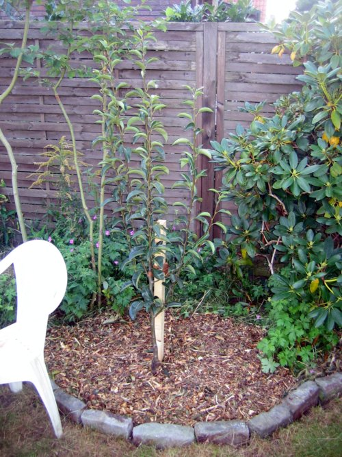 birnbaum pflanzen beschneiden und formen was muss ich beachten. Black Bedroom Furniture Sets. Home Design Ideas