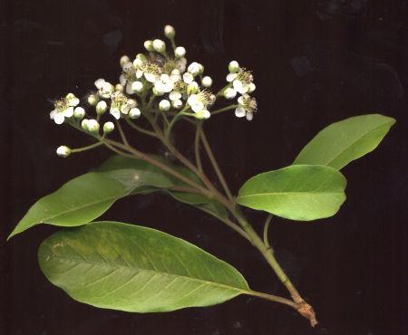 strauch weiss bl hend photinia davidiana