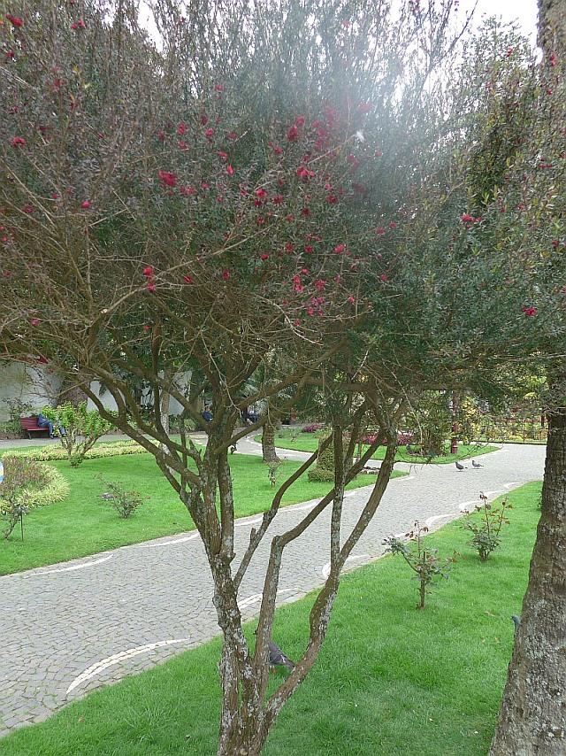 azoren gro er strauch kleiner baum in park mit roten. Black Bedroom Furniture Sets. Home Design Ideas
