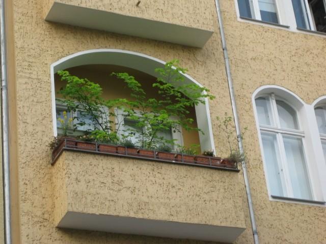 baum auf meinem balkon ulmus laevis. Black Bedroom Furniture Sets. Home Design Ideas