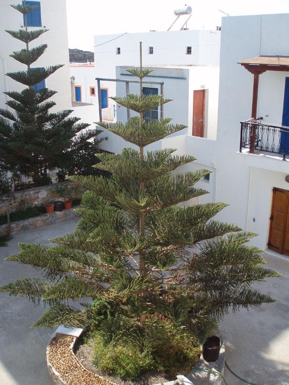 baumarten aus griechenland araucaria heterophylla albizia julibrissin rizin