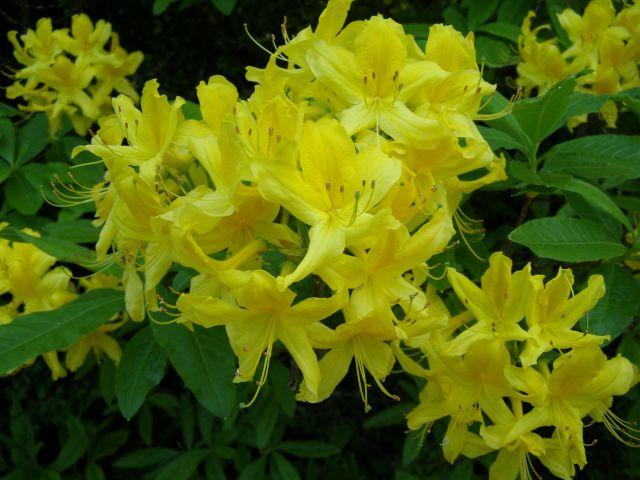 wie hei t dieser busch mit duftenden gelben bl ten rhododendron luteum. Black Bedroom Furniture Sets. Home Design Ideas