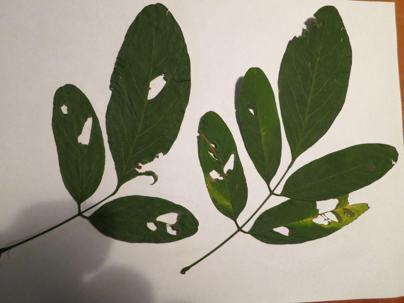 unbekannter laubbaum robinia pseudoacia 39 unifolia 39. Black Bedroom Furniture Sets. Home Design Ideas