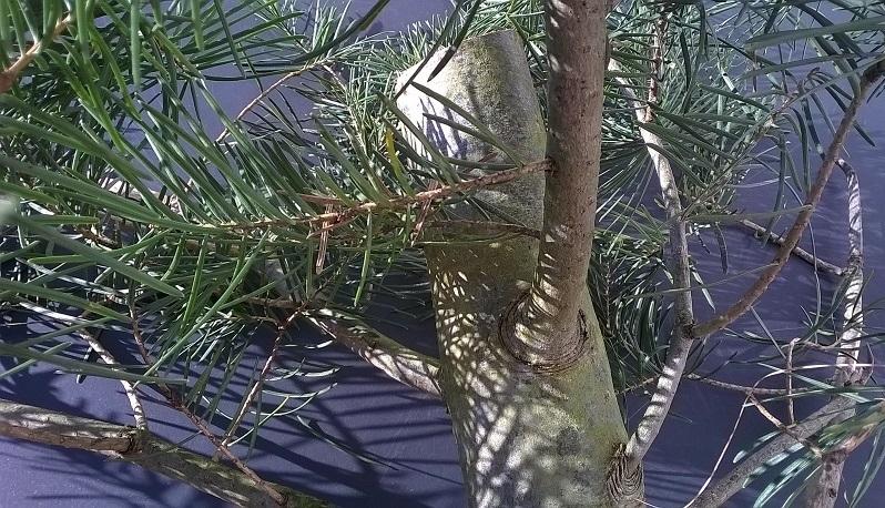 was f r ein nadelbaum ist das douglasie abies concolor. Black Bedroom Furniture Sets. Home Design Ideas
