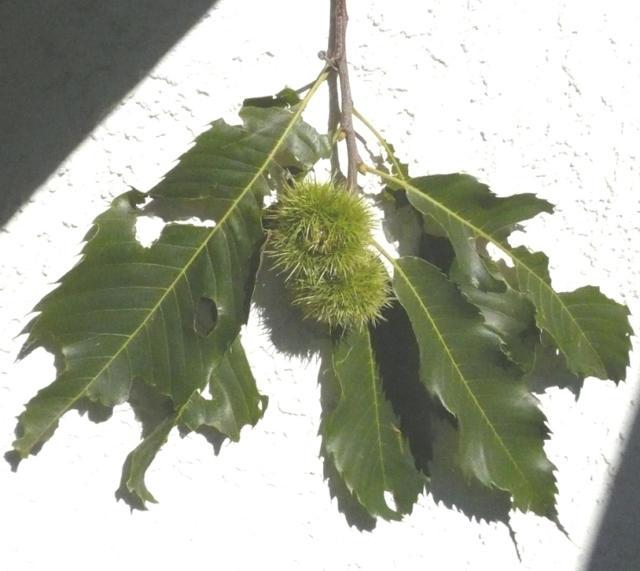 Baum Mit Stacheligen Früchten