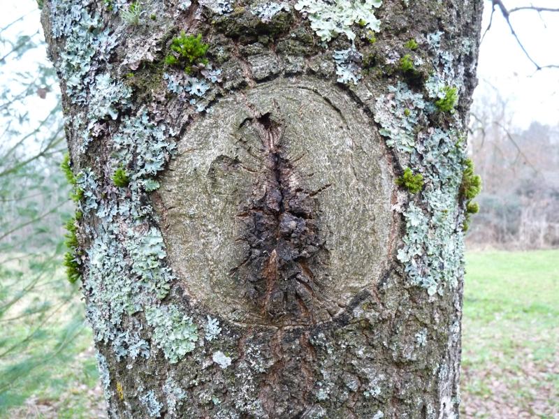 Berühmt Baumschnitt - Baumkunde Forum #FP_06