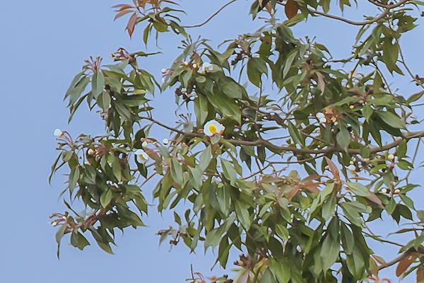 Bäume aus Bali - Baumkunde Forum