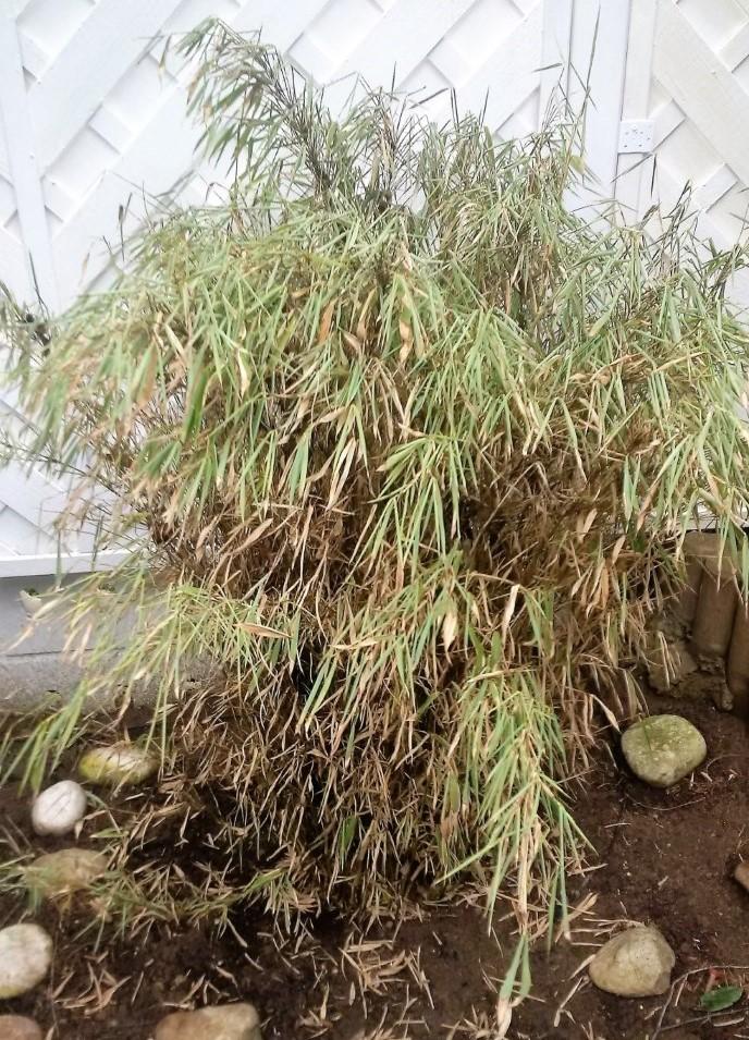 Krankheit Am Bambus Baumkunde Forum