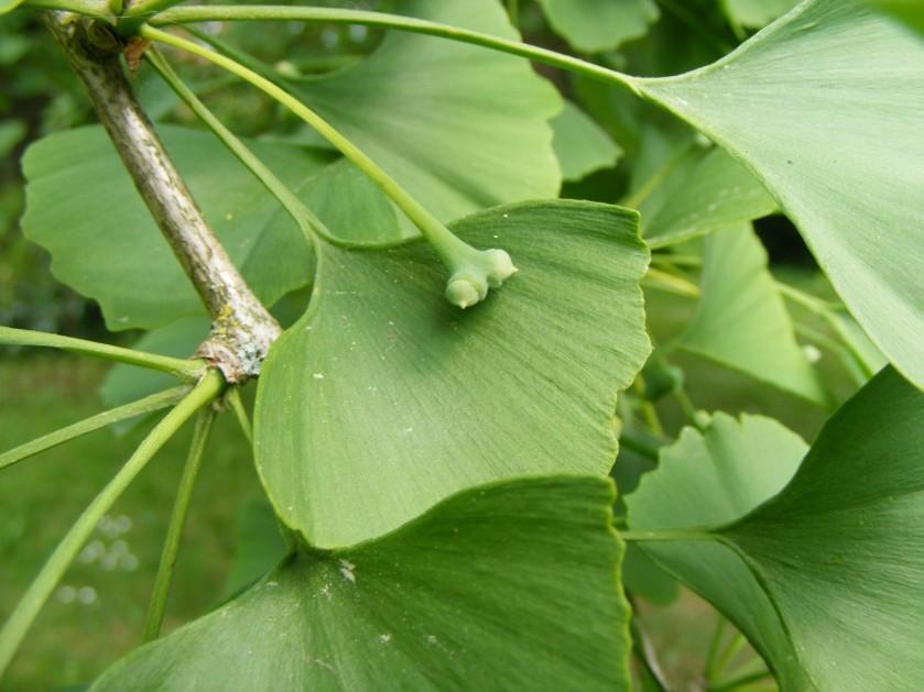 Ginkgo-männlich oder weiblich ---> Ginkgo biloba (weiblich